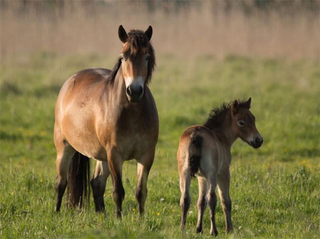 Exmoor-Pony mit Fohlen