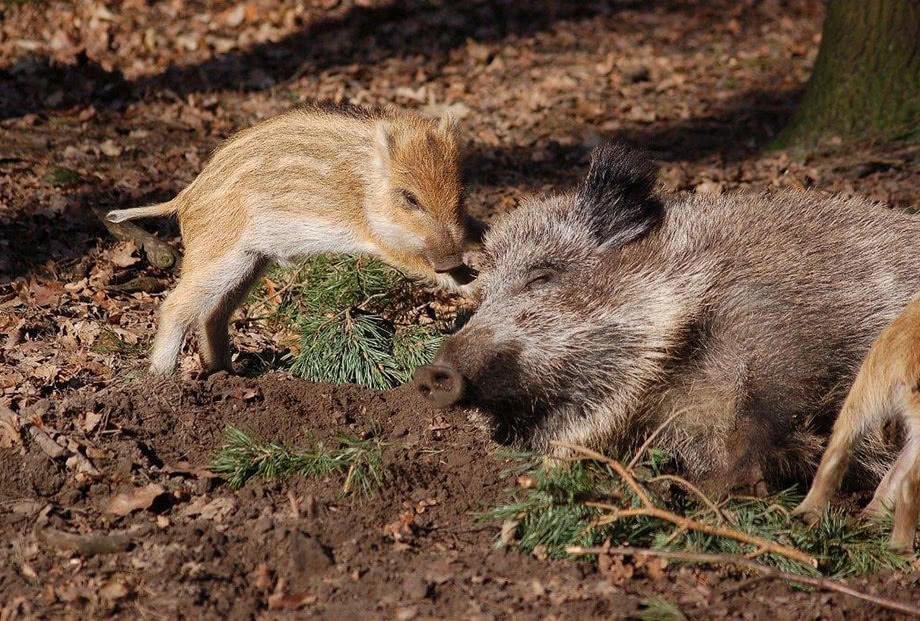 Wildschwein mit Frischling, Foto: W. Stürzbecher
