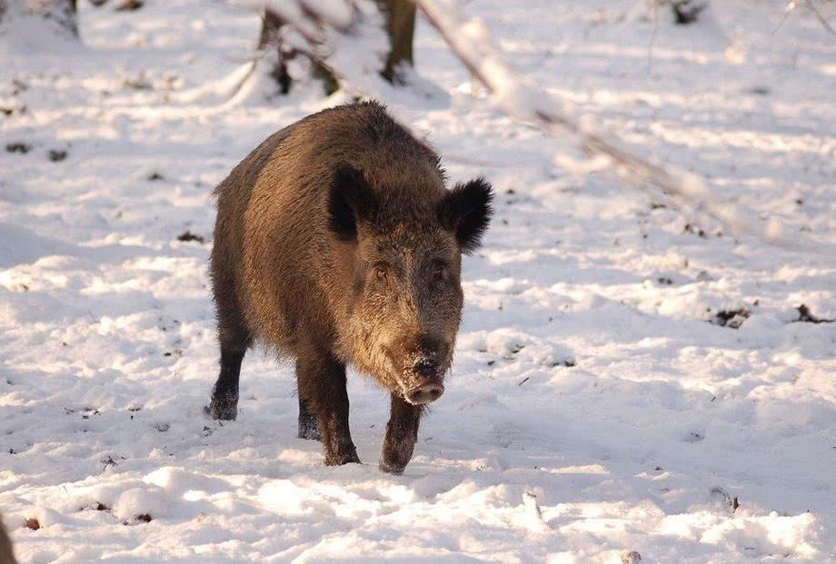 Wildschwein, Foto: W. Stürzbecher