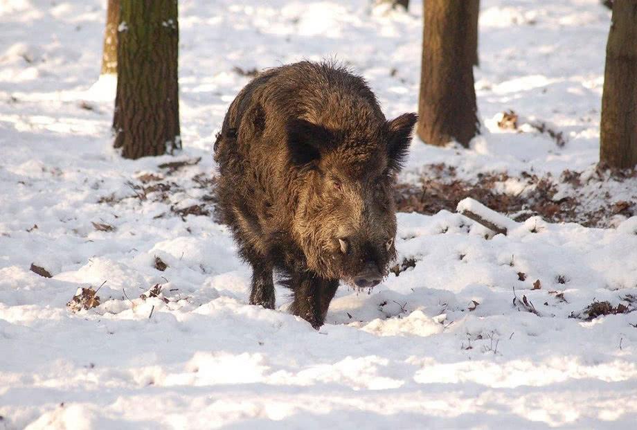 Wildschwein, Foto W. Stürzbecher