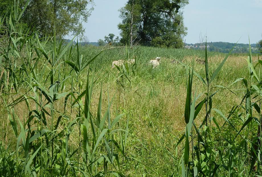 Wildpferde auf naturnaher Weide